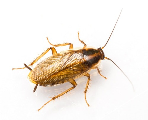 How to prepare for a German Cockroach Pest Control Service